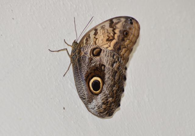 butterfly-nikon